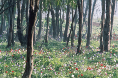 The-Ben-Shemen-Forest-in-Bloom