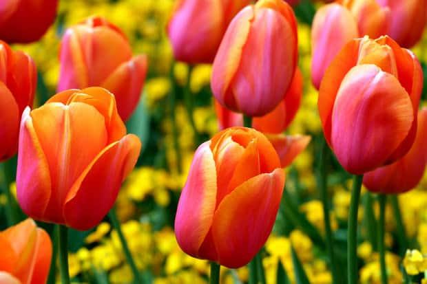 piccoli segreti per coltivare tulipani